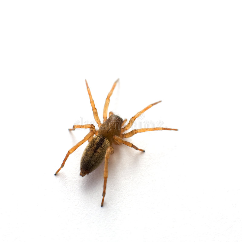 Brown spider. Photographed on a white background stock images