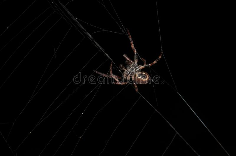Brown spider from below spinning web on a black background royalty free stock image