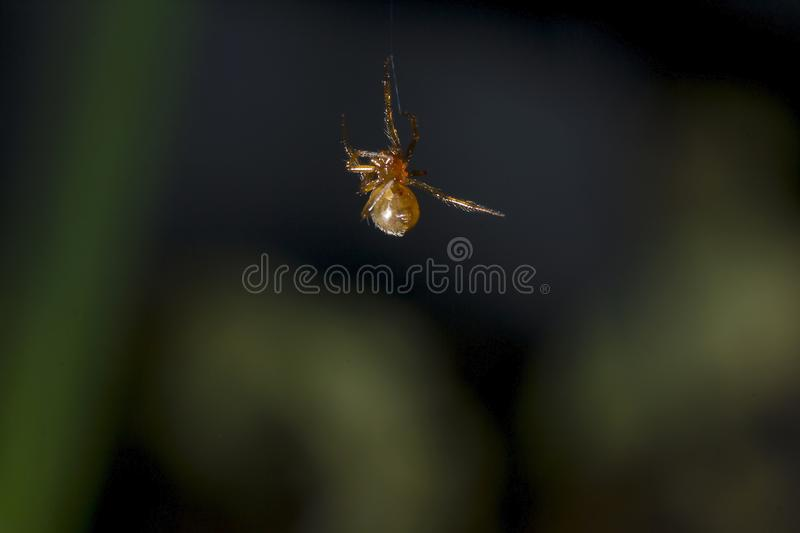 Brown spider climbing on a spider`s fiber. A small brown spider is climbing onto the spider`s web royalty free stock photo