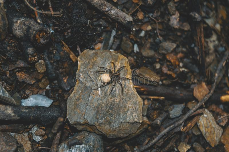 Brown spider with egg sack on the ground of a forest, on top of. A stone royalty free stock image