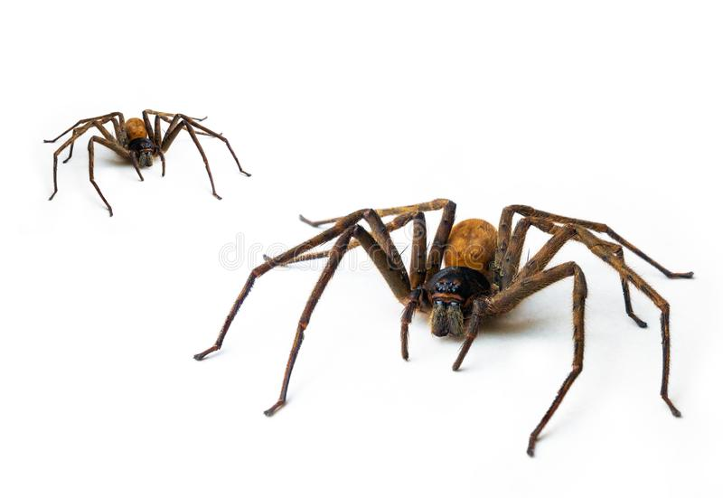 Brown spider 8-pin predator, isolated on white. Top view royalty free stock photography