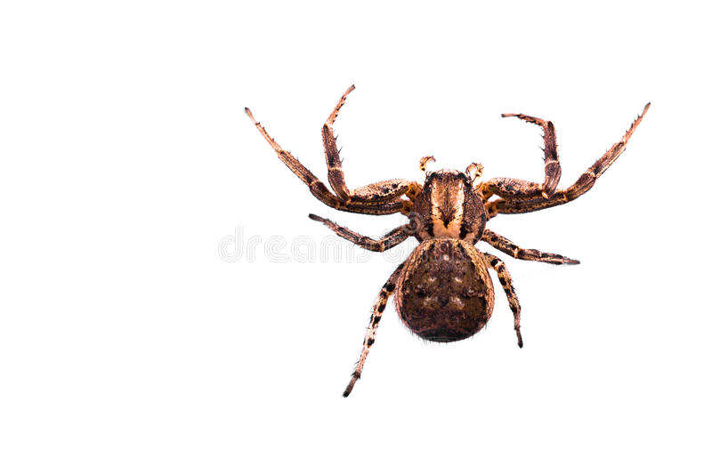 Brown Spider Top view. Macro of a Brown Spider isolated on a white background. Copyspace on left royalty free stock images