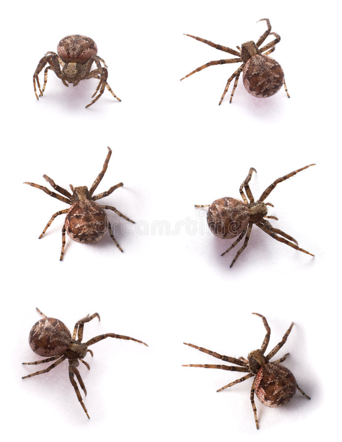 Brown spiders. Six yellow spiders on a white background royalty free stock photos