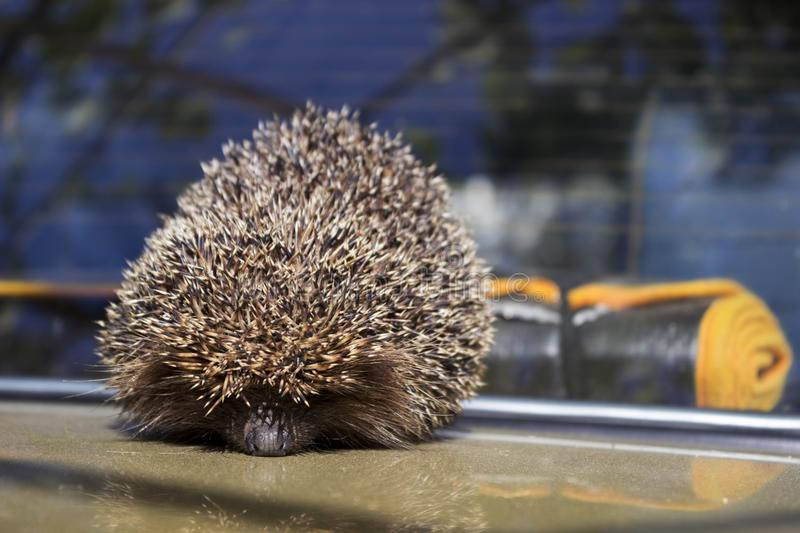 Brown spiny hedgehog sits on the hood of the car in the summer. A mammal animal royalty free stock photography