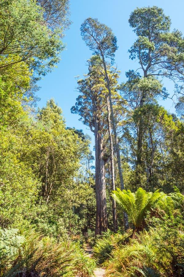 Brown-Spitze Stringybark-Baum in Tasmanien lizenzfreies stockbild