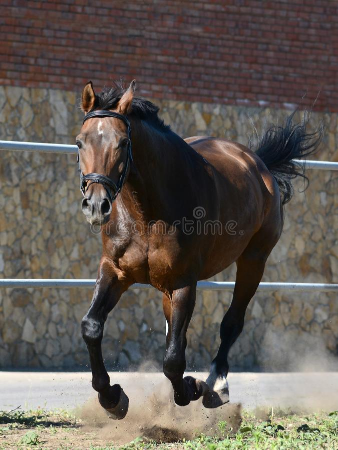 Brown-Sportpferd auf Galopp in der Freiheit Front View lizenzfreies stockfoto