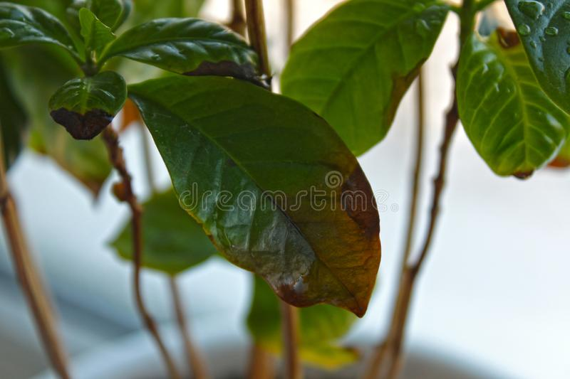 Fresh Coffee Plant With Green Leaves In Pot On Windowsill, Stock