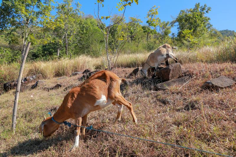 Brown and spotted goat grazes on dry grass. Stony slope with grassy vegetation. Goat tied with blue rope. royalty free stock photo