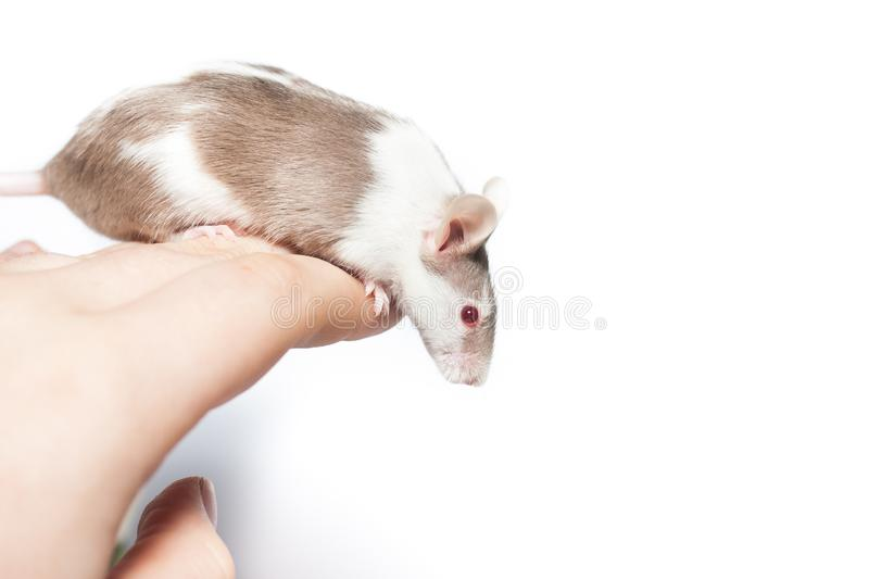 Brown spotted mouse sitting on a hand stock photos