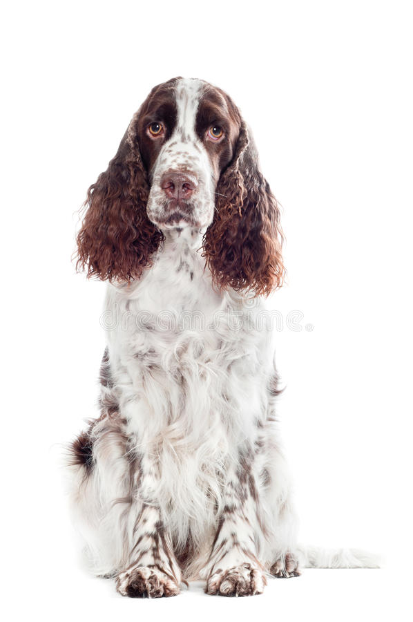 Brown springera spaniela psa portret zdjęcie stock