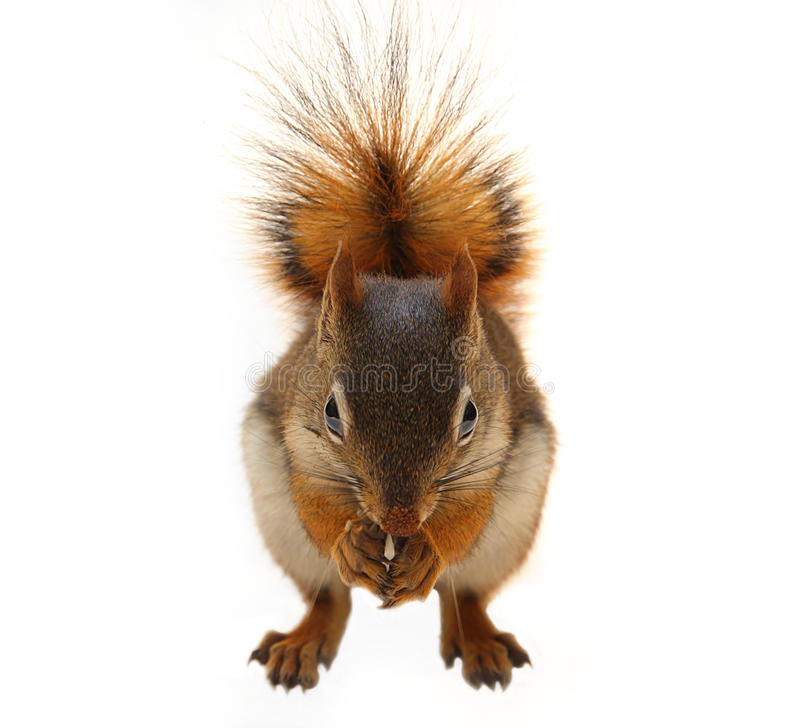 Download Brown Squirrel stock photo. Image of isolated, front - 26864984