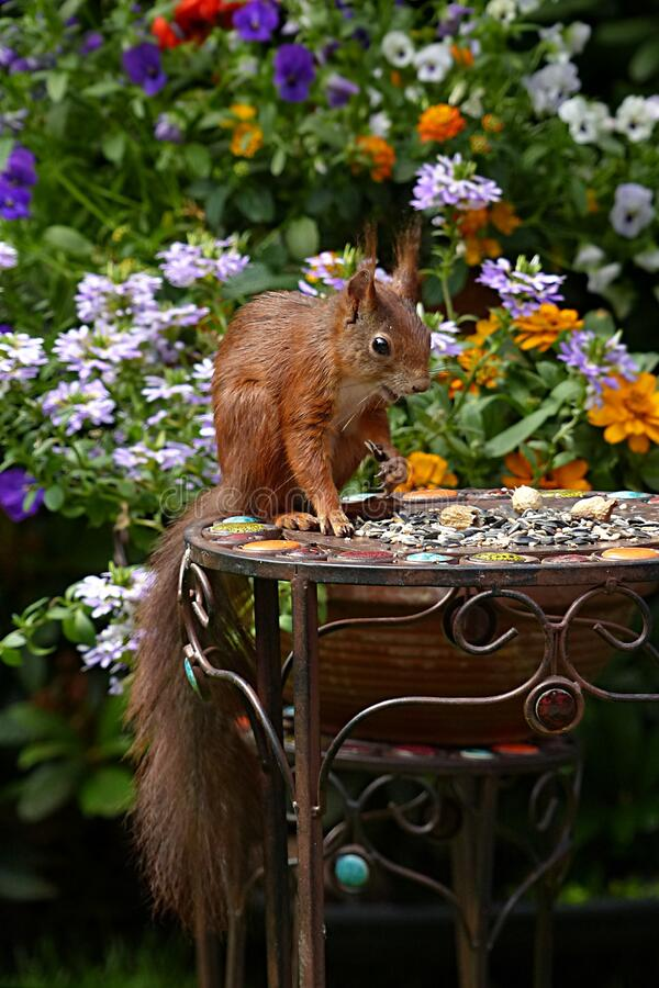 Brown Squirrel in Black Metal Round Table during Daytime royalty free stock image