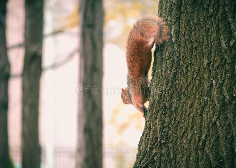 Brown Squirrel on Black Tree stock photos