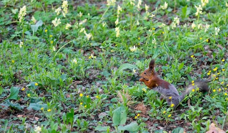 Squirrel sits on the green spring grass. Brown squirrel changes fur from winter to summer and sits on the green spring grass stock photography