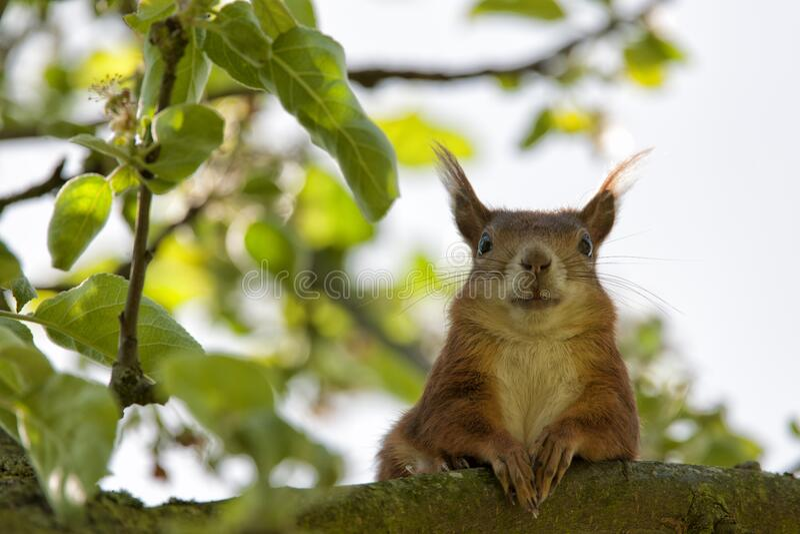 Brown Squirrel Closeup Photography stock photos