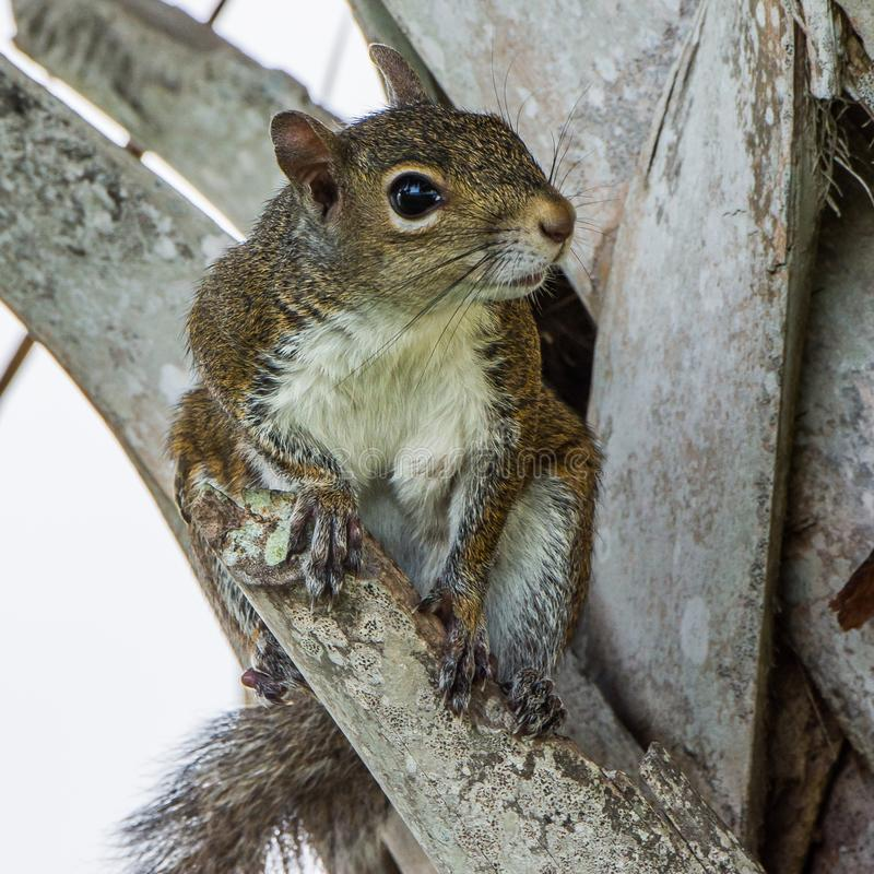 Brown Squirrel in a Florida Palm. A brown squirrel posing in the trunk of a Florida palm tree royalty free stock photos