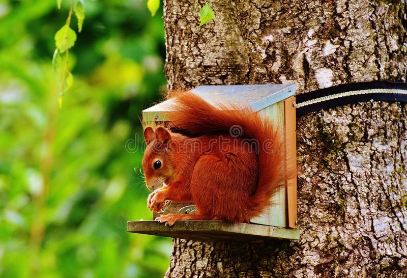 Brown Squirrel on Gray Wooden House on Tree royalty free stock photo