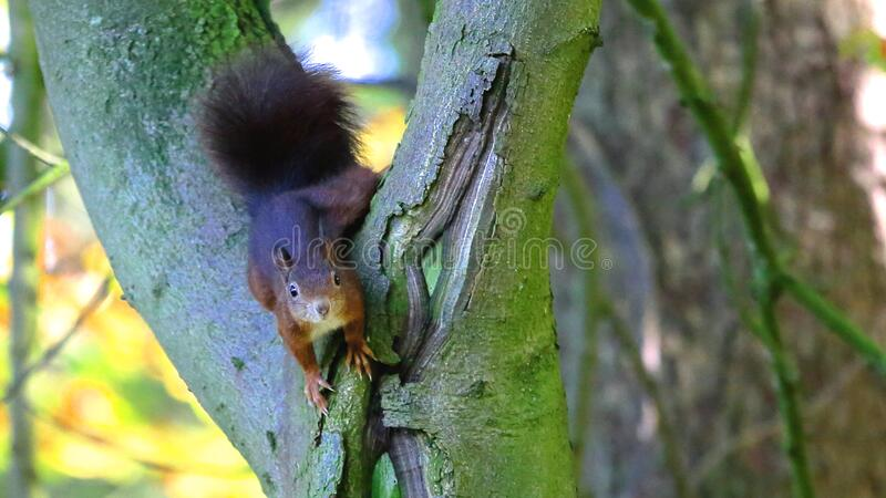 Brown Squirrel in Green Tree Trunk stock images