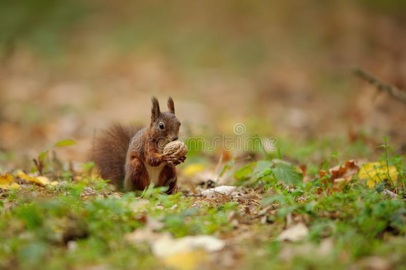 Brown squirrel holding wallnut in her paws. Cute small animal. Hungry rodent on the autumn stock image