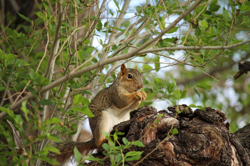 A brown squirrel sits in a tree and gnaws on a nut. A brown squirrel sits in a tree and hastily gnaws on a nut stock photos