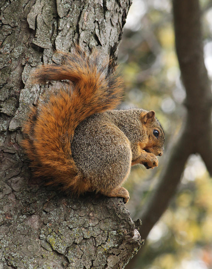 Brown Squirrel sitting in an oak tree royalty free stock photography