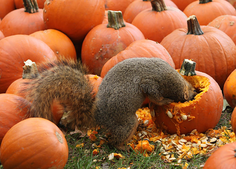 Brown Squirrel Snacking On Pumpkin Seeds Stock Photography