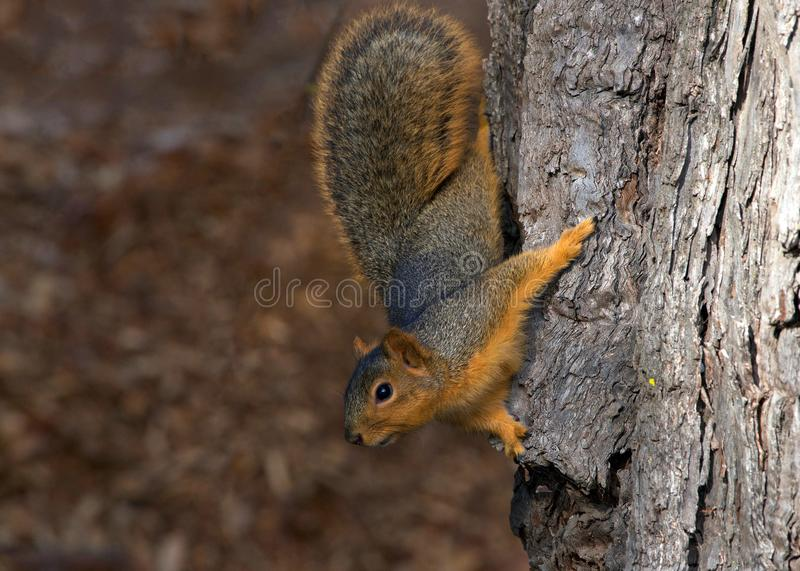 Brown squirrel on tree looking at viewer carefully. Squirrel holding onto a tree. The fox squirrel, Sciurus niger, also known as the eastern fox squirrel, is the royalty free stock image