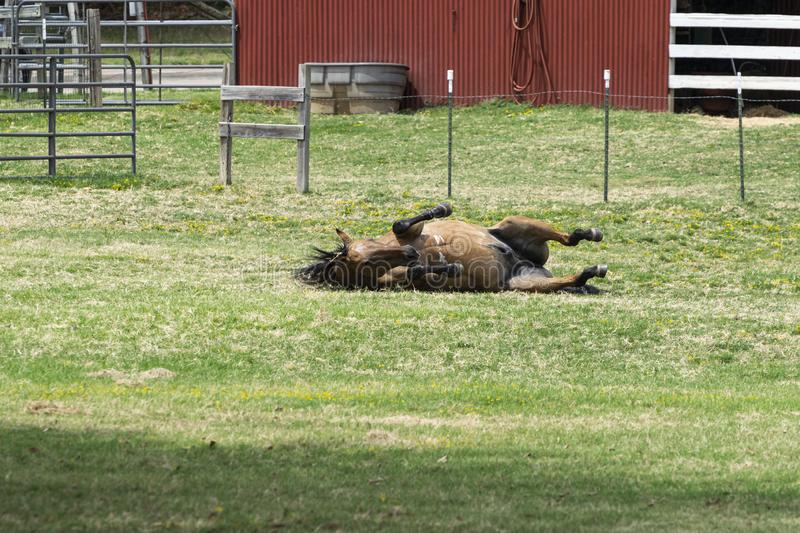 Brown horse on its side as it begins to roll in the grass. Brown stallion with his legs tucked and mane flying out as he rolls onto his side to begin rolling and stock photography