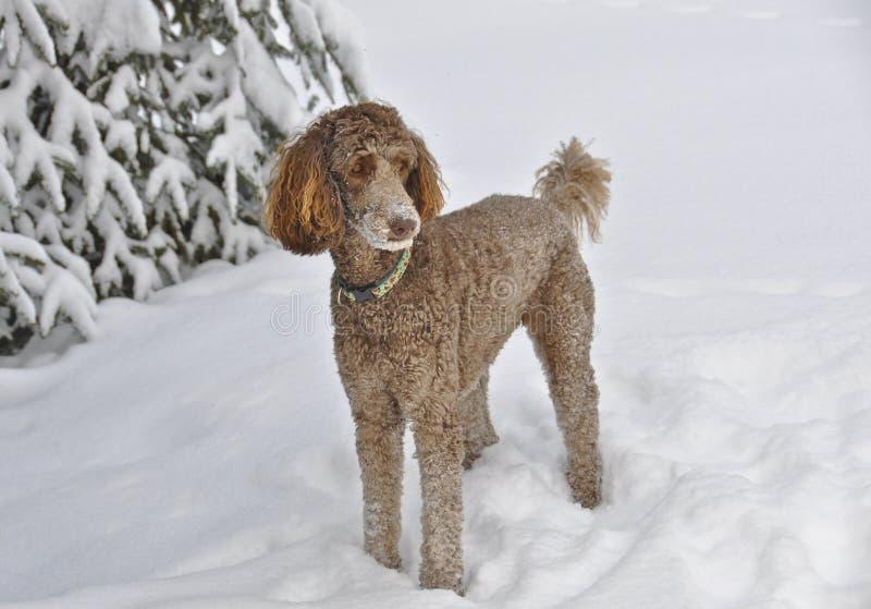 Brown standardPoodle som plattforer i Snow royaltyfria foton