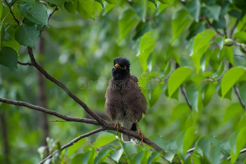Brown starling with yellow beak  on the green tree. A starling on the branch of a tree. A bird with yellow beak in the rainforest stock image