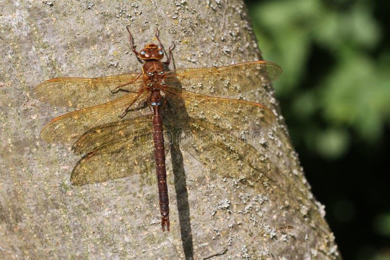 Brown-Straßenverkäufer-Dragonfly Aeshna-grandis hockten auf dem Stamm eines Baums lizenzfreie stockfotos
