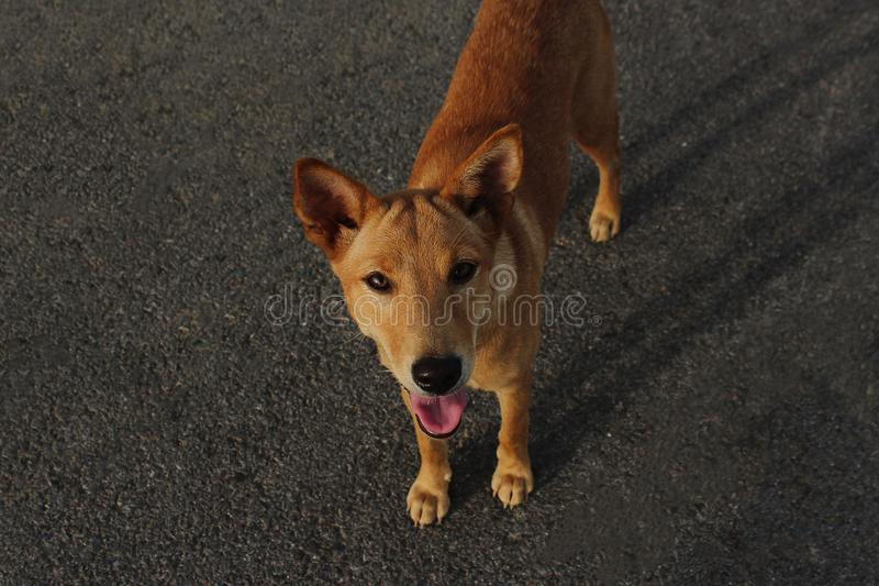 A brown stray dog is looking for food on the city streets. royalty free stock photos