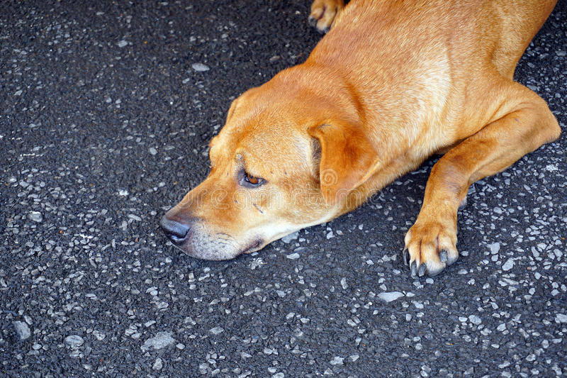 Brown stray dog royalty free stock photo