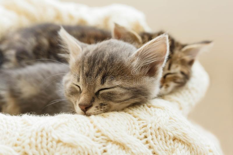 Brown striped cats sleeps on knitted woolen beige plaid. Little cute fluffy cat. Cozy home stock image