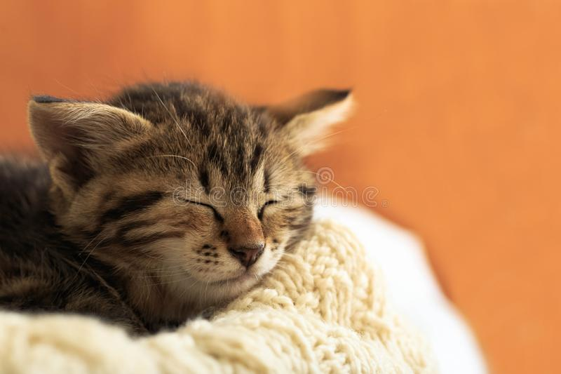 Brown striped kitty sleeps on knitted woolen beige plaid. Little cute fluffy cat. Cozy home.  royalty free stock image