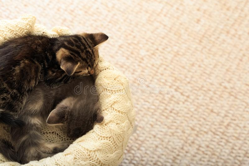 Brown striped kitty sleeps on knitted woolen beige plaid. Little cute fluffy cat. Cozy home.  stock images