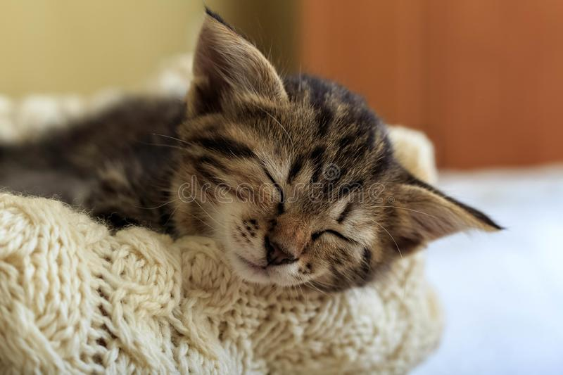 Brown striped kitty sleeps on knitted woolen beige plaid. Little cute fluffy cat. Cozy home.  royalty free stock images