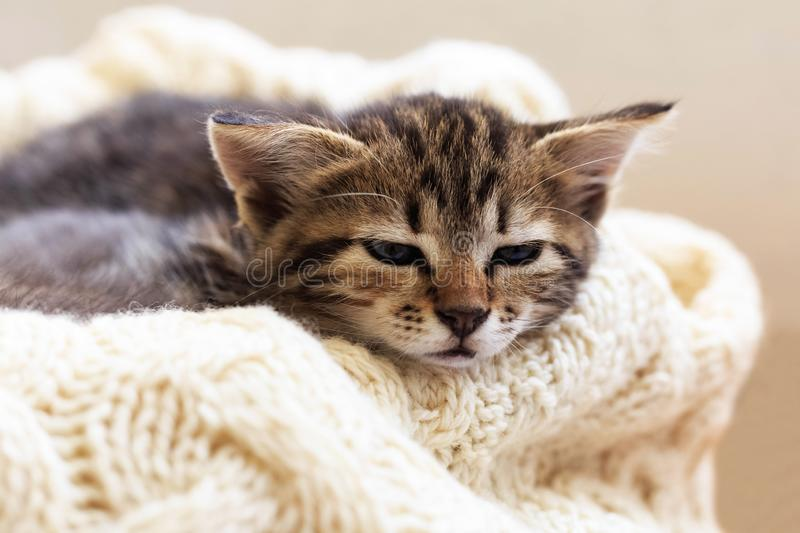Brown striped kitty sleeps on knitted woolen beige plaid. Little cute fluffy cat. Cozy home.  royalty free stock photo