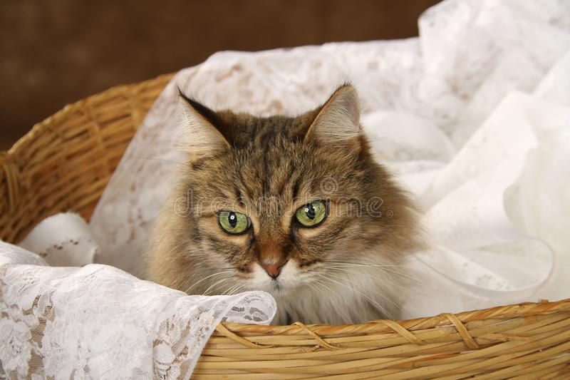 A brown striped tiger cat sitting on white lace in a basket. A brown striped tiger cat sitting on white lace in a large basket looking off in the distance. Only royalty free stock photography