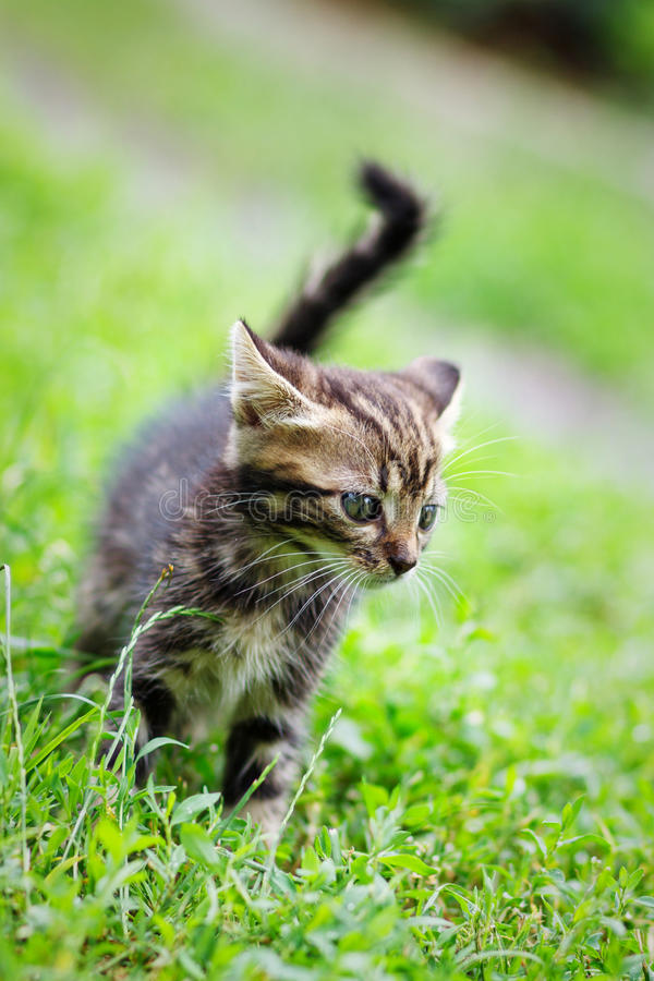 Brown stripes cute kitten walking on the grass royalty free stock image