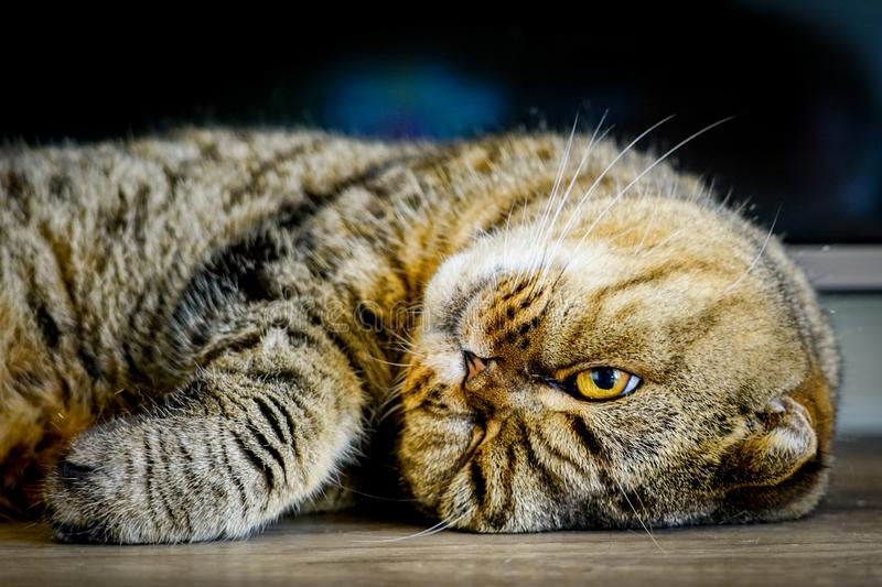 Brown stripped scottish fold cat against a blurred background. Beautiful brown stripped scottish fold cat against a blurred background stock images