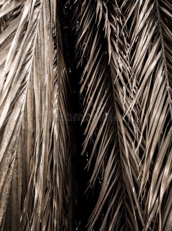 Brown strips of dry palm leaf parts Abstract background. Brown strips of dry palm leaf parts. Abstract background stock photography