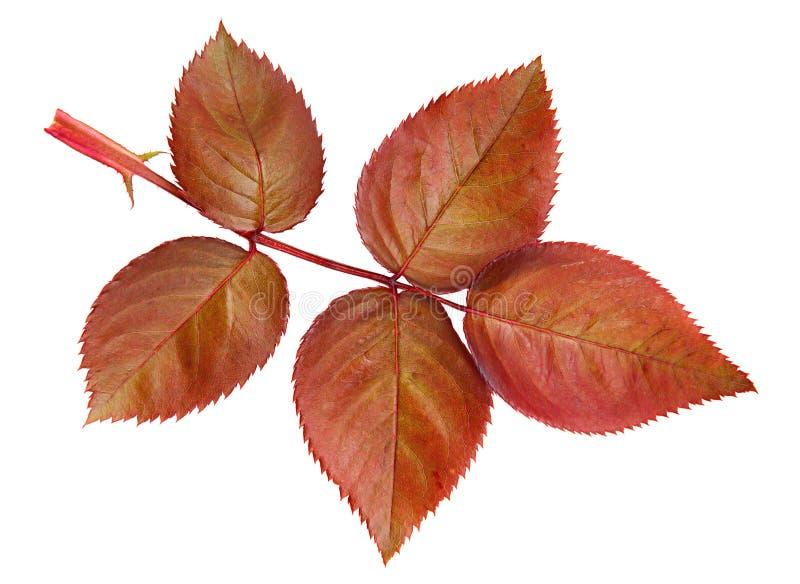 Brown subió las hojas imagen de archivo