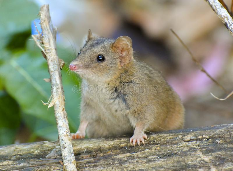 Brown or subtropical antechinus stock photos