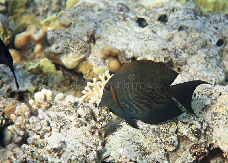 Download Brown surgeonfish stock photo. Image of fish, flora, fauna - 14417238