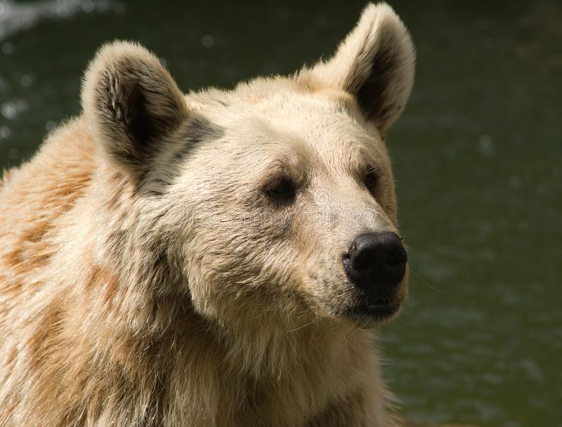 Download Brown Syrian Bear stock photo. Image of hunting, bear - 6733786