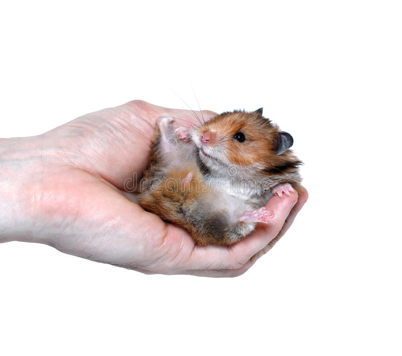 Brown Syrian hamster in hand isolated royalty free stock image