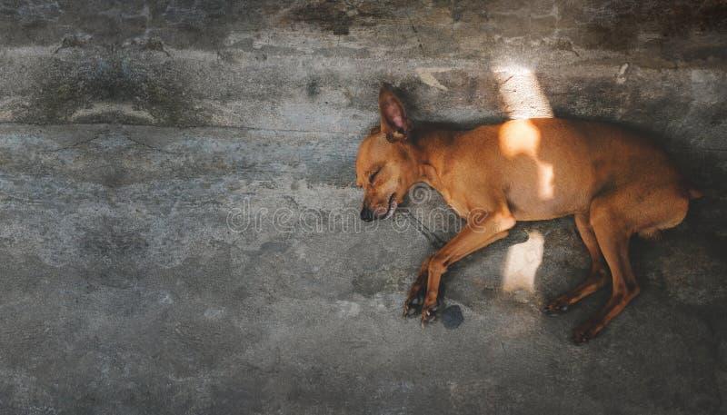 Brown szczeniaka psa dosypianie na podłodze Na zewnątrz domu, obraz royalty free