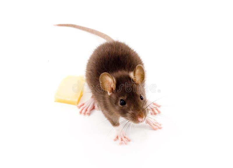 Brown szczur zdjęcie stock