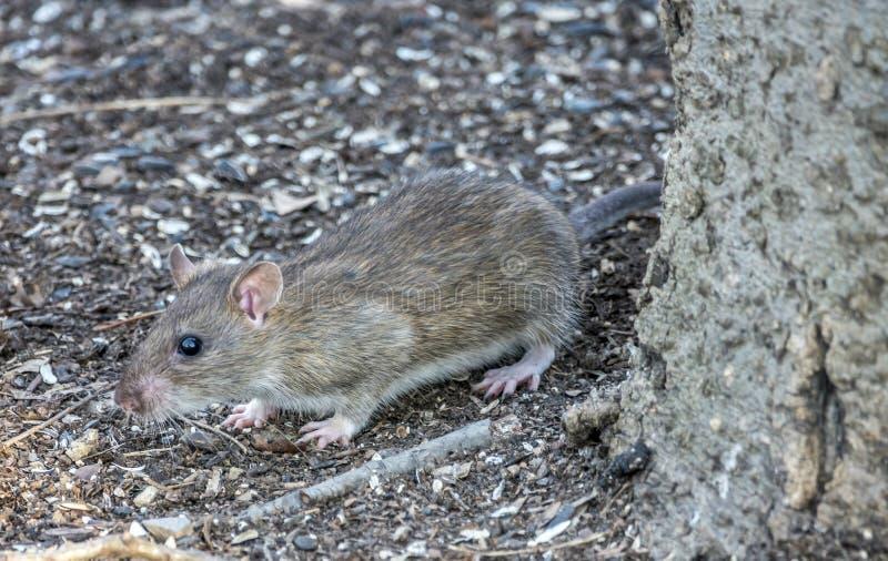 Brown szczur, Rattus norvegicus, zdjęcia stock